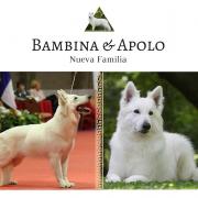 APOLO-BAMBI